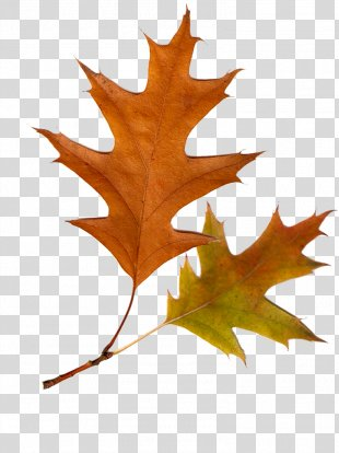 Autumn Leaves Autumn Leaf Color Tree - Autumn Leaves PNG