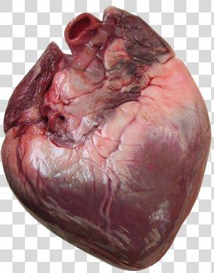 Heart Anatomy Human Body Cardiac Muscle Clip Art - Human Heart PNG