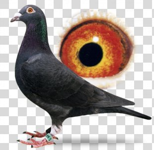Racing Homer Columbidae Homing Pigeon Bird Pigeon Racing - Pigeon PNG