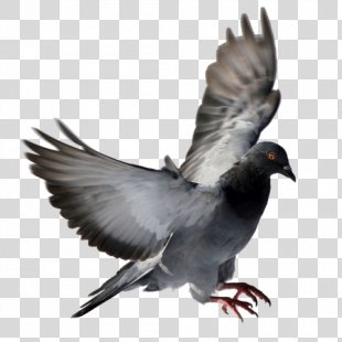 Columbidae Homing Pigeon Squab Bird Racing Homer - Bird PNG