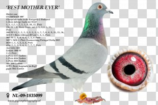 Columbidae Homing Pigeon Rock Dove Pigeon Racing Pigeon Keeping - Racing Pigeon PNG