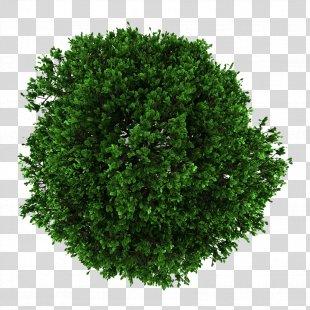 Tree English Oak Crown - Tree Crown PNG
