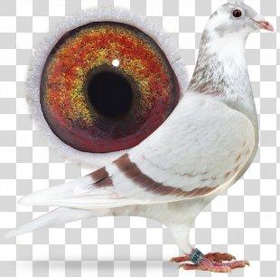 Racing Homer Columbidae Homing Pigeon Pigeon Racing Belgium - Gold Dust PNG