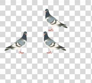 Homing Pigeon Stock Dove Columbidae Bird - Pigeon PNG