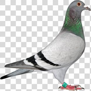 Racing Homer Homing Pigeon American Show Racer Tippler Fancy Pigeon - Homing Pigeon PNG