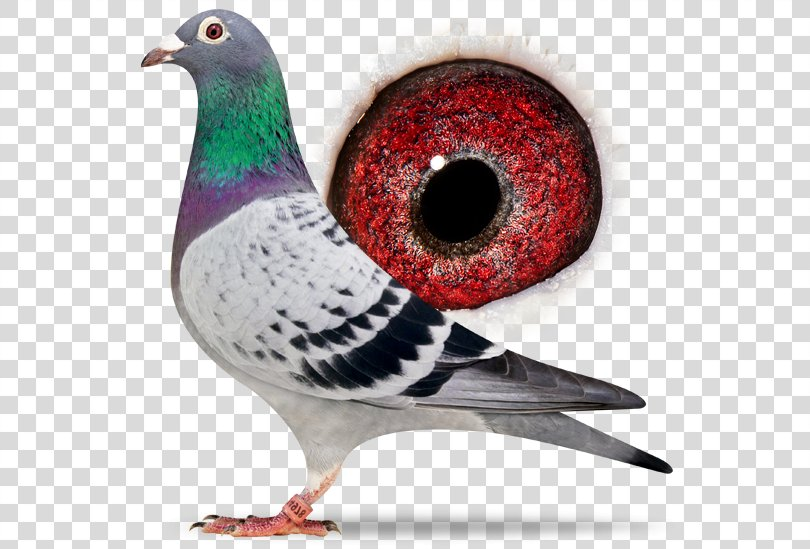 Racing Homer Columbidae Homing Pigeon Homer Simpson Pigeon Racing, Sangers Pigeons Bv PNG, Free Download