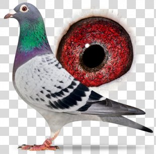 Racing Homer Columbidae Homing Pigeon Homer Simpson Pigeon Racing - Sangers Pigeons Bv PNG