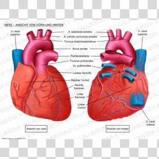 Human Heart Anatomy Coronal Plane Anterior Cardiac Veins - Heart PNG