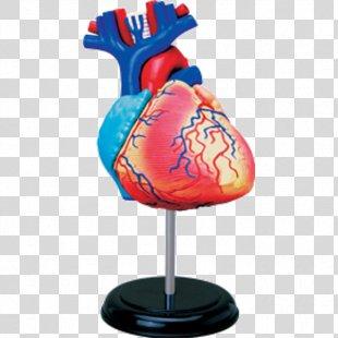 Human Anatomy Human Body Heart Human Skeleton - Human Heart PNG