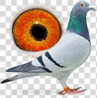 Beak Homing Pigeon Racing Homer Columbidae Fancy Pigeon - Bird PNG
