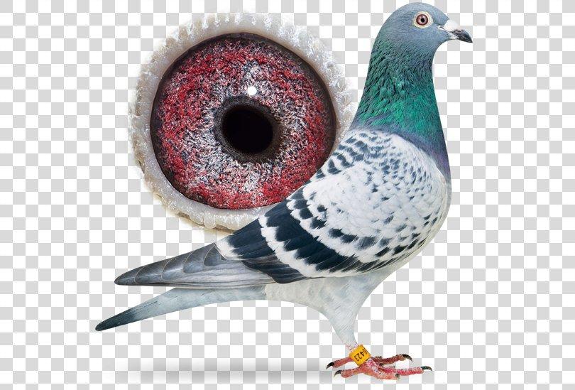 Racing Homer Columbidae Homing Pigeon Bird Pigeon Racing, Bird PNG, Free Download
