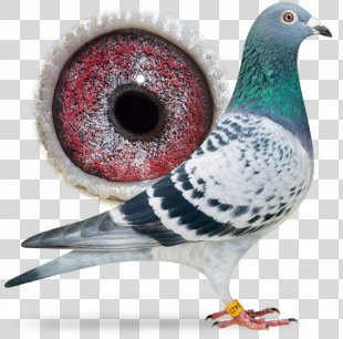 Racing Homer Columbidae Homing Pigeon Bird Pigeon Racing - Bird PNG