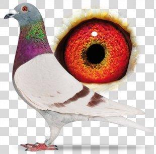 Racing Homer Homing Pigeon Bird Columbidae Fancy Pigeon - Pigeon PNG