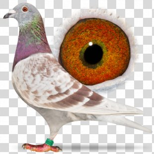 Racing Homer Columbidae Homing Pigeon Pigeon Racing Beak - Racing Pigeon PNG