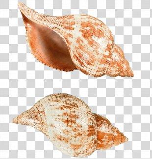 Seashell Sea Snail Clip Art - Seashell PNG