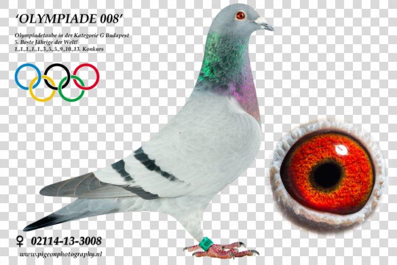 Columbidae Homing Pigeon Racing Homer Pigeon Racing Pigeon Keeping, Racing Pigeon PNG, Free Download