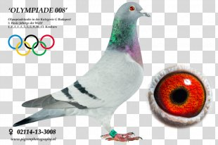 Columbidae Homing Pigeon Racing Homer Pigeon Racing Pigeon Keeping - Racing Pigeon PNG