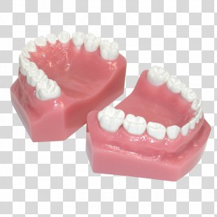 Human Tooth Pediatric Crowns Posterior Teeth - Teeth Model PNG