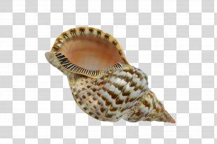 Seashell Conchology Charonia Triton - Seashell PNG