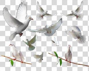 Homing Pigeon Rock Dove Columbidae Bird - Pigeon PNG