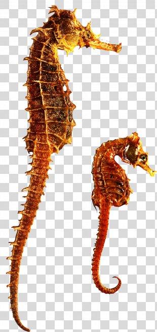 Seahorse Star - Gold Figures PNG