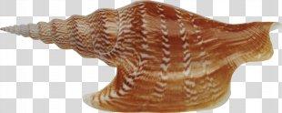Seashell Download Sea Snail - Seashell PNG
