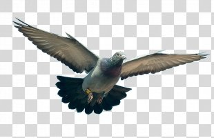 Homing Pigeon Columbidae Troyes Ring-necked Dove - Pigeon PNG