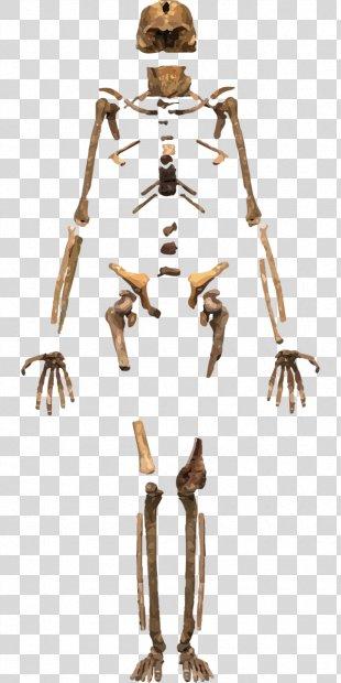 Skeleton Homo Sapiens Human Body Bone - Skeleton PNG