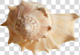 Seashell Mollusc Shell Ocean Clam - Seashell PNG