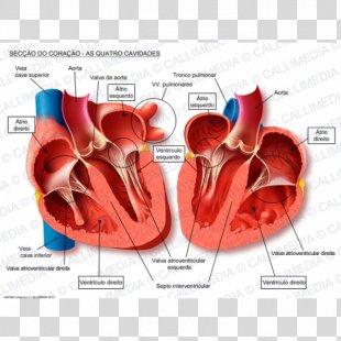 Human Heart Anatomy Blood Vessel Pulmonary Vein - Heart PNG