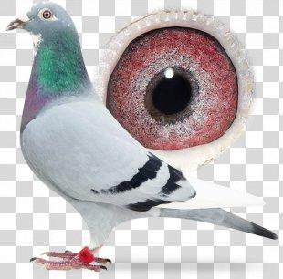 Racing Homer Columbidae Pigeon Racing Animal - Racing Pigeon PNG