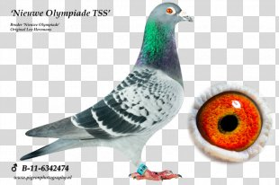 Columbidae Homing Pigeon Pigeon Racing Bird Arendonk - Racing Pigeon PNG