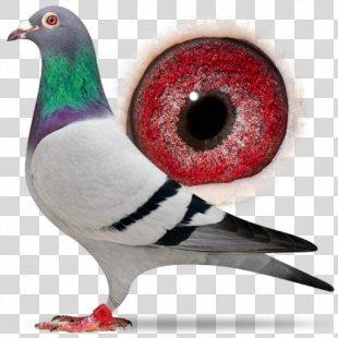 Columbidae Racing Homer Bird Homing Pigeon Pigeon Racing - Bird PNG