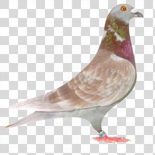 Columbidae Racing Homer Homing Pigeon Bird Fancy Pigeon - Pigeon PNG