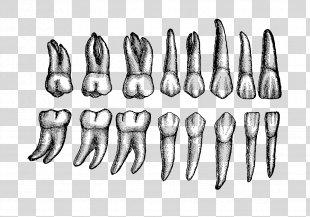Human Tooth Dental Anatomy Permanent Teeth - Teeth PNG