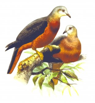 Homing Pigeon Fantail Pigeon Columbidae Bird Clip Art - Pigeon PNG
