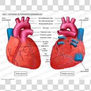 Human Heart Anatomy Circulatory System Coronal Plane - Heart PNG