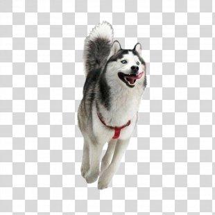 Siberian Husky Happiness Puppy Golden Retriever Smile - Siberian Husky PNG