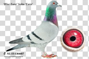 Columbidae Homing Pigeon Pigeon Racing Olympic Games Olympiad - Racing Pigeon PNG