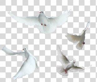 Homing Pigeon Rock Dove Columbidae Peace - Pigeon Pigeon Element PNG