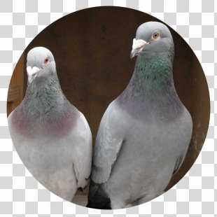 Homing Pigeon Racing Homer Columbidae Bird Pet - Pigeon PNG