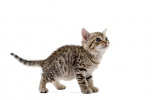 Cat Play And Toys Kitten Mouse Dog - Cat PNG