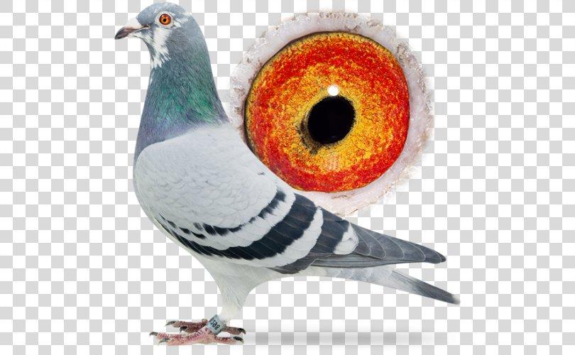 Racing Homer Columbidae Homing Pigeon Pigeon Racing Beak, Racing Pigeon PNG, Free Download