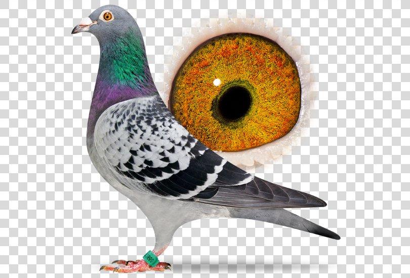 Racing Homer Columbidae Marseille Pigeon Racing Netherlands, Pigeon PNG, Free Download