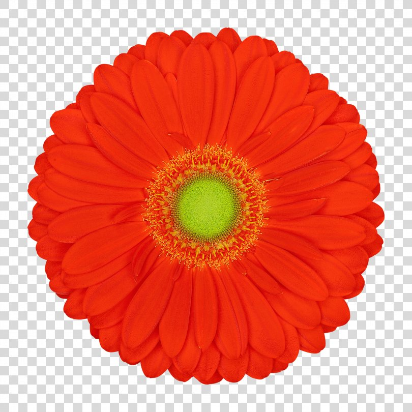 Transvaal Daisy Vector Graphics Cut Flowers Illustration Product, Gerbera Drawing PNG