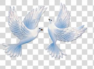 Homing Pigeon Columbidae Bird Cygnini - Pigeon PNG