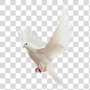 Homing Pigeon Columbidae Religious Studies: Philosophy Of Religion And Ethics - Pigeon Pigeon Picture Material PNG