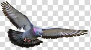 Homing Pigeon Racing Homer Columbidae Fancy Pigeon Bird - Bird PNG