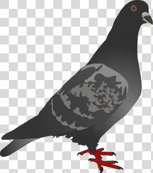 Homing Pigeon Columbidae Bird Clip Art - Pigeon PNG