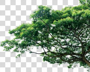 Branch Tree Pine Template - Tree PNG